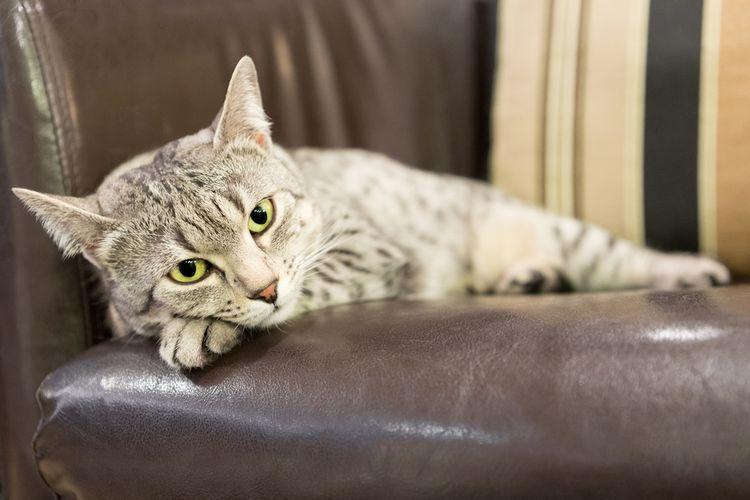 Kucing Pendiam