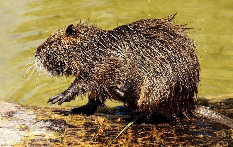 beaver-rat-3541455_1920
